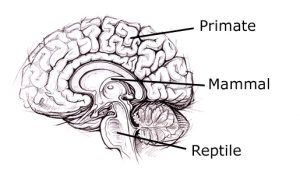 THE EVOLUTIONARY LAYERS OF THE HUMAN BRAIN